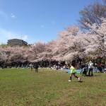 蕨市民公園の桜 2014年4月5日