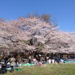 満開の桜 蕨市民公園